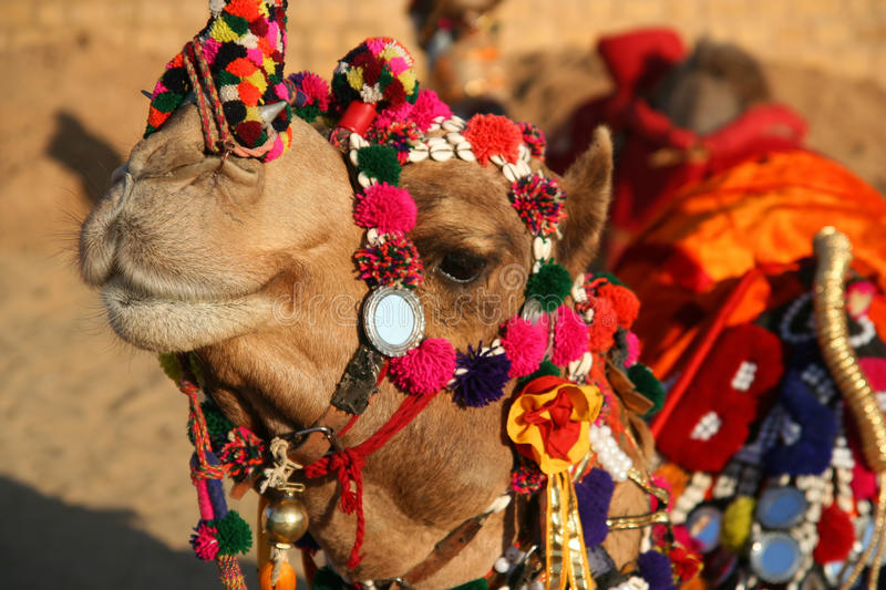 Dandified camel royalty free stock photos