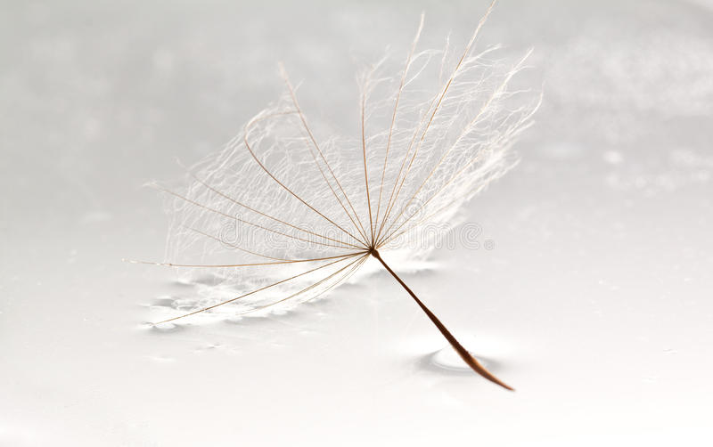 Download Dandilion Lying In Puddle Of Water Stock Photo - Image of life, dandilion: 22707274