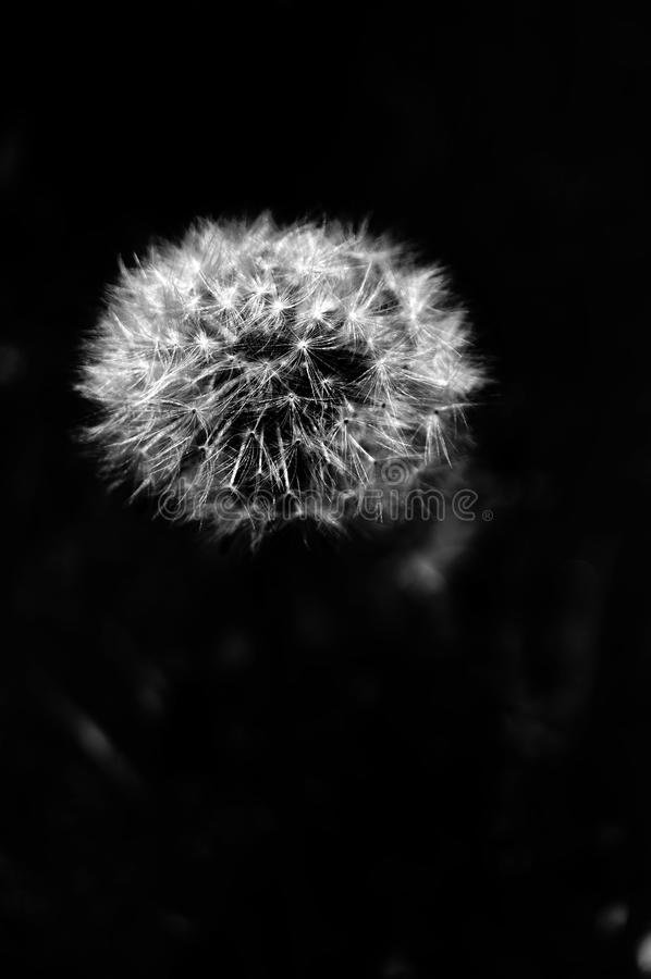 Dandilion Puff. Fragile little dandilion out in a field in CT. B stock photos
