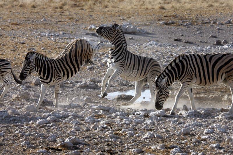 Dando dei calci alla zebra - parco nazionale di Etosha - la Namibia fotografia stock libera da diritti