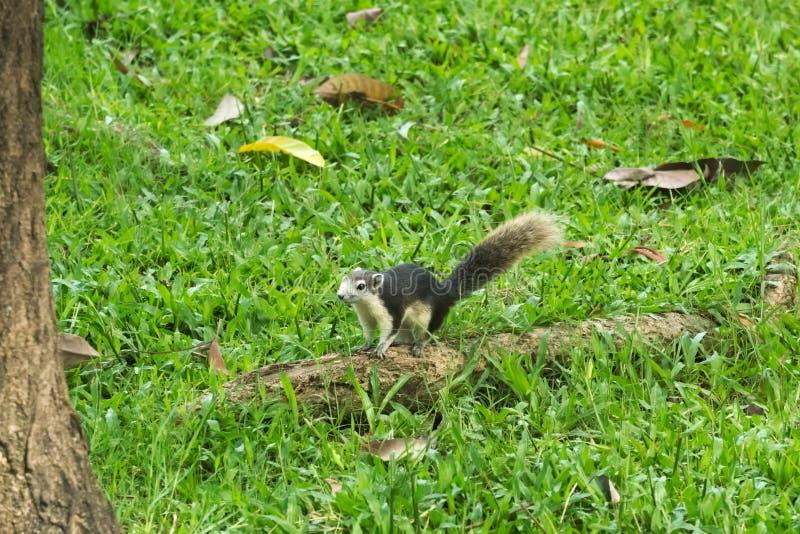 Dando uma corrida em torno de um parque gramíneo-verde e uma raiz grossa da árvore, um esquilo sorrindo, novo, cinzento e branco, fotografia de stock royalty free