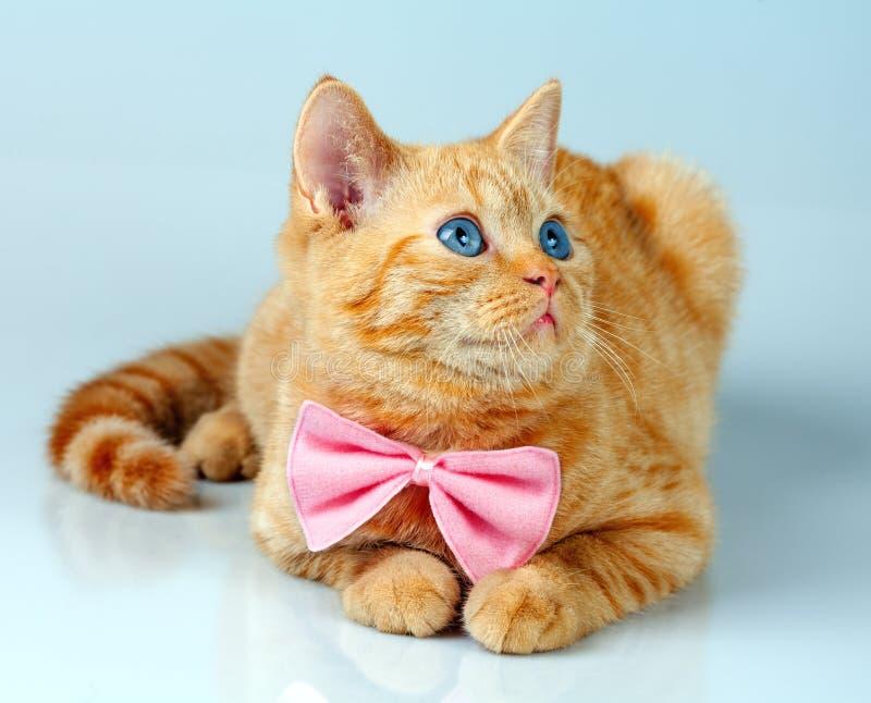 Dandy Cat imagens de stock