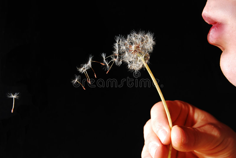 Dandy Lion Flower being blown. royalty free stock photography