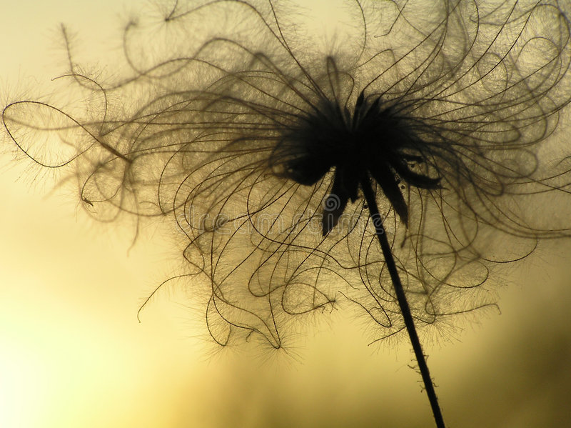 Dandy seeds in twilight stock photos