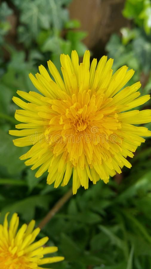 Dandylion stockbild