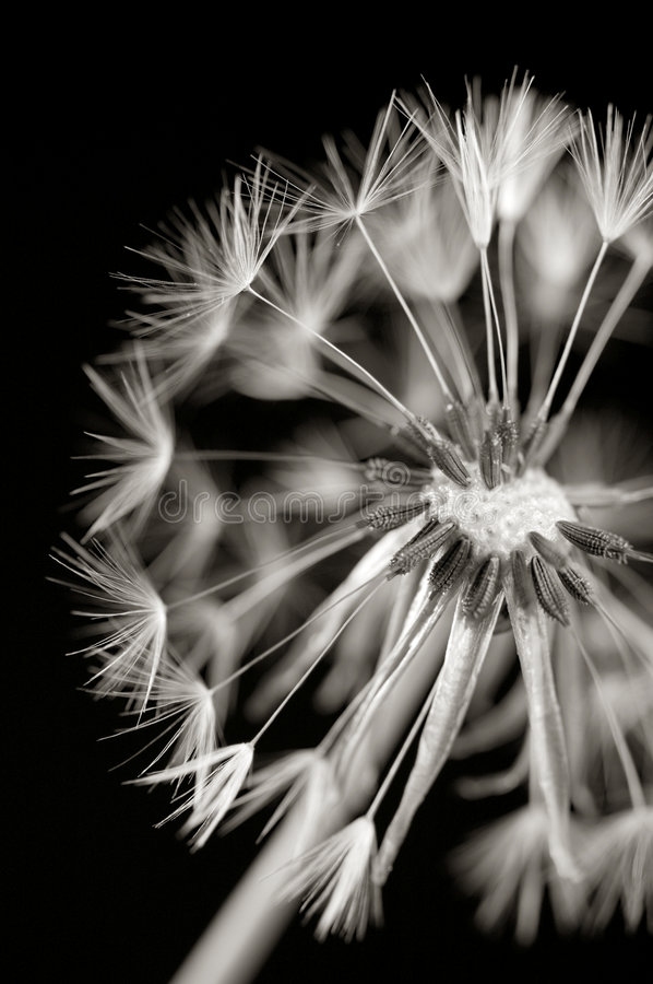 Dandylion in black and white stock photos