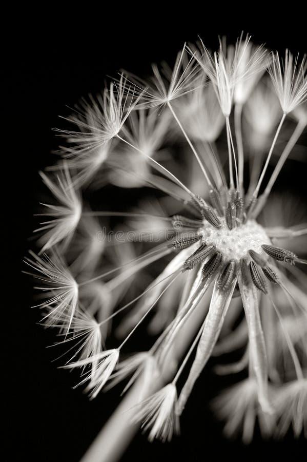 Dandylion en blanco y negro fotos de archivo