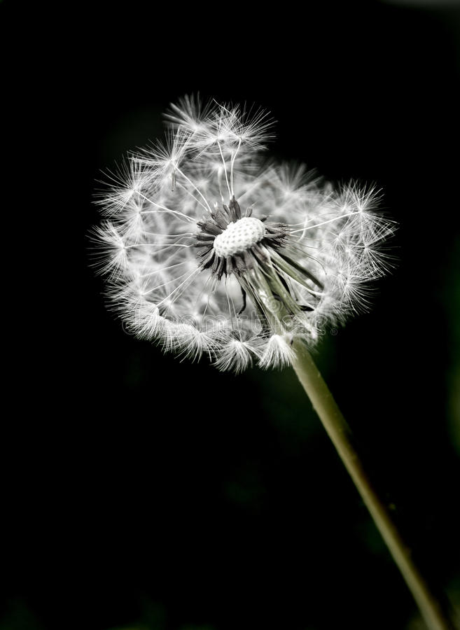 Dandylion Weeds and Black Background royalty free stock image