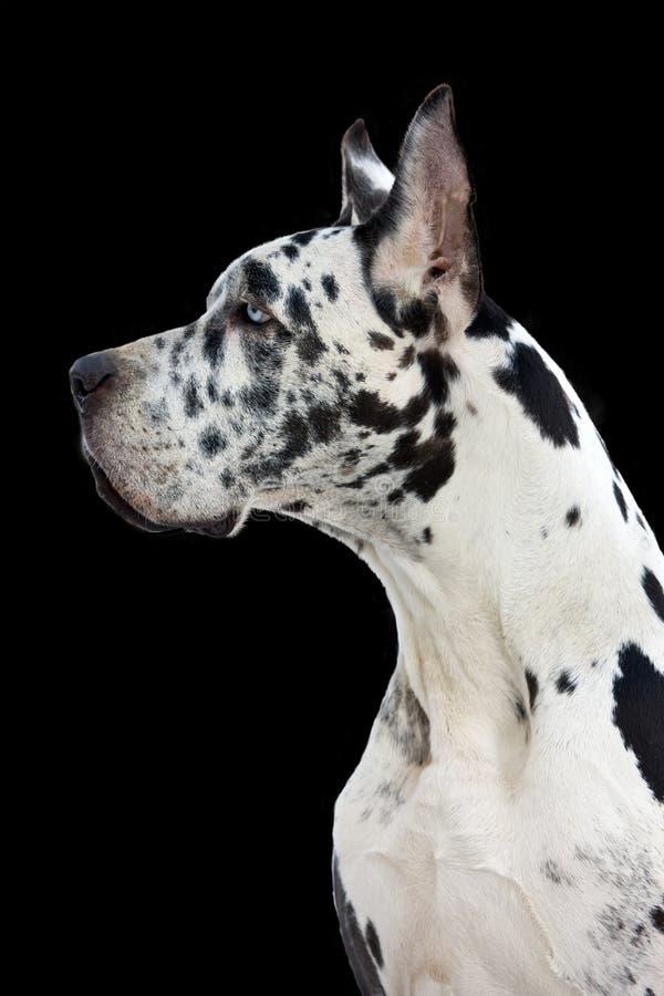 Dane Great dog stock photo