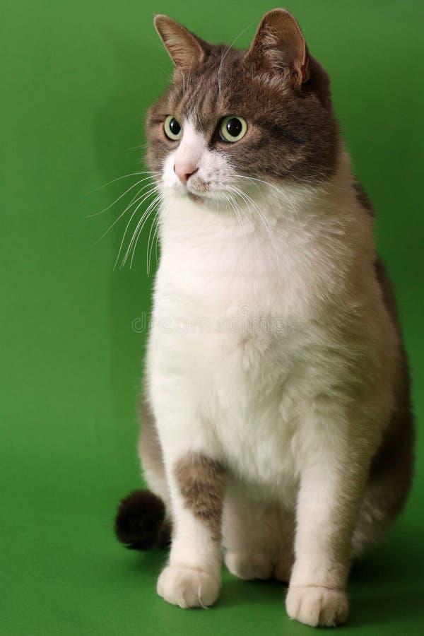 Dangdang названное котом стоковые фотографии rf