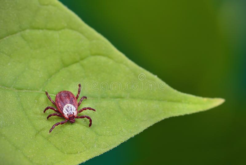 Danger of tick bite. Parasite mite sitting on a green leaf.  royalty free stock photos