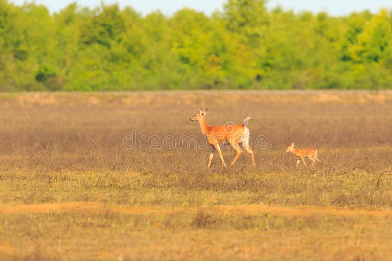 The Danger Zone. A momma Deer and her fawn Quickly cross an open field at the Bald Knob Wildlife Refuge, Located in Bald Knob, Arkansas 2017 stock images