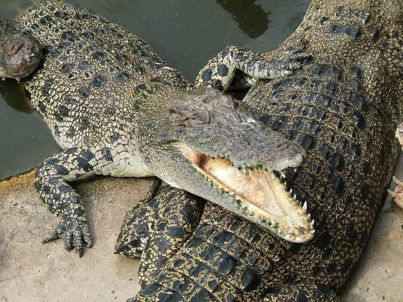 Download Dangerous alligator stock photo. Image of competition, reptile - 399736