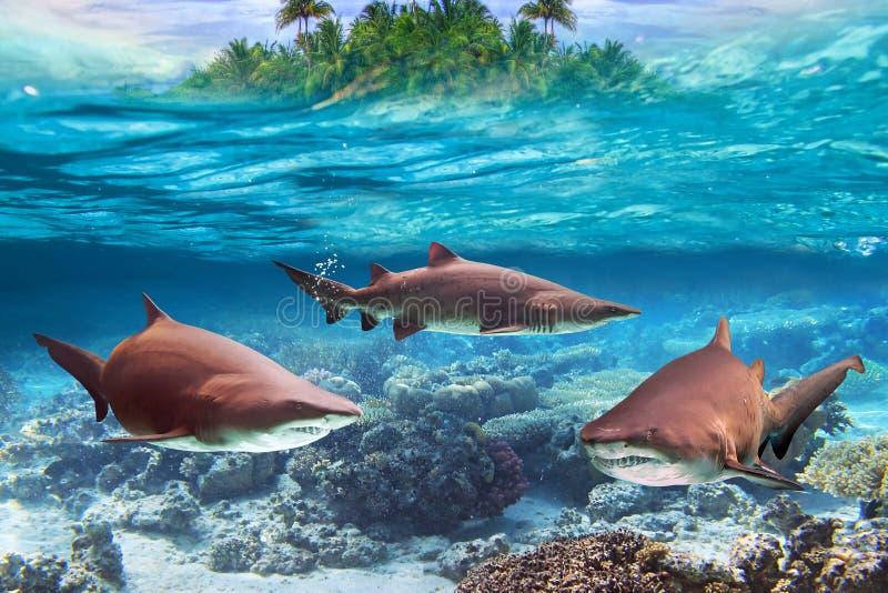 Dangerous bull sharks underwater stock image