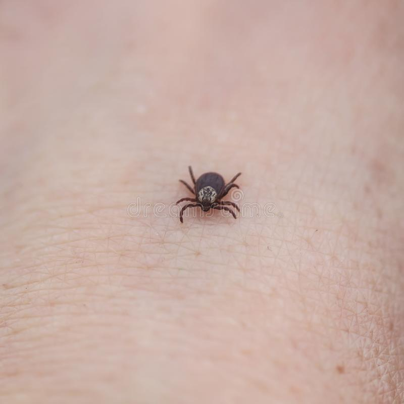 contagious insect a tick crawling on human skin stock photography