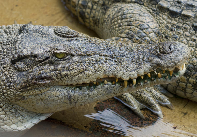 Download Dangerous crocodile stock photo. Image of hunter, fang - 21073466