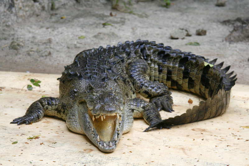 Dangerous crocodile stock photography