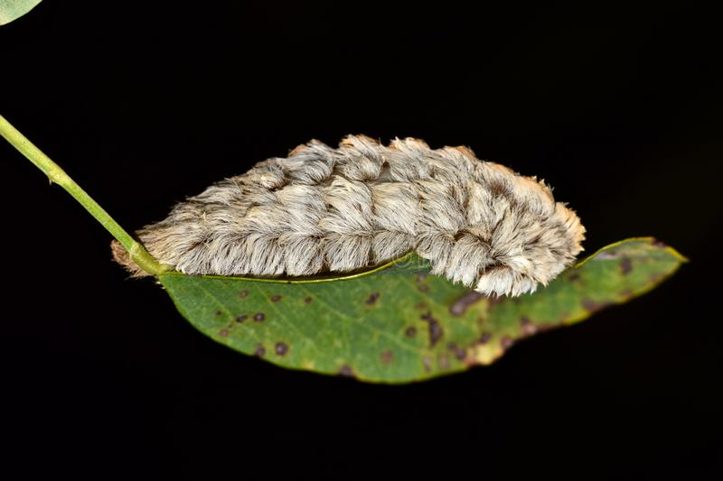 Dangerous Flannel moth caterpillar on a leaf. royalty free stock photos