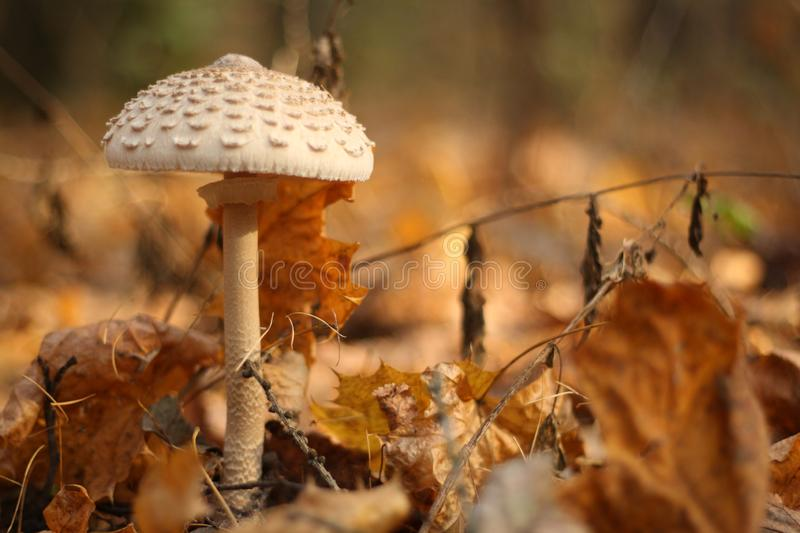 Dangerous fly agaric mushroom, view from bottom royalty free stock images