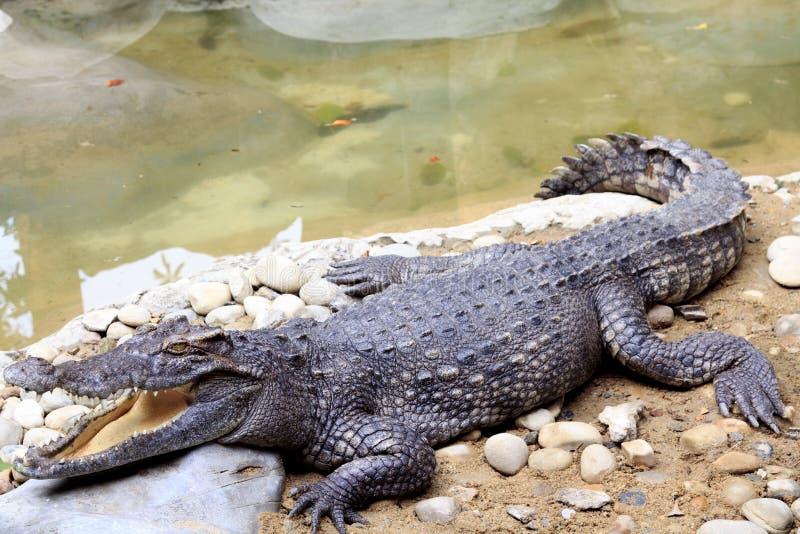 Dangerous Huge Crocodile Royalty Free Stock Image