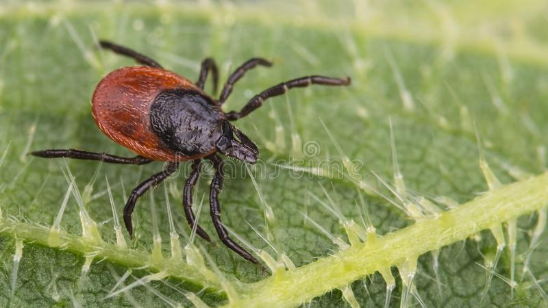 Close-up of big deer tick on nettle leaf. Ixodes ricinus. Urtica dioica stock photo