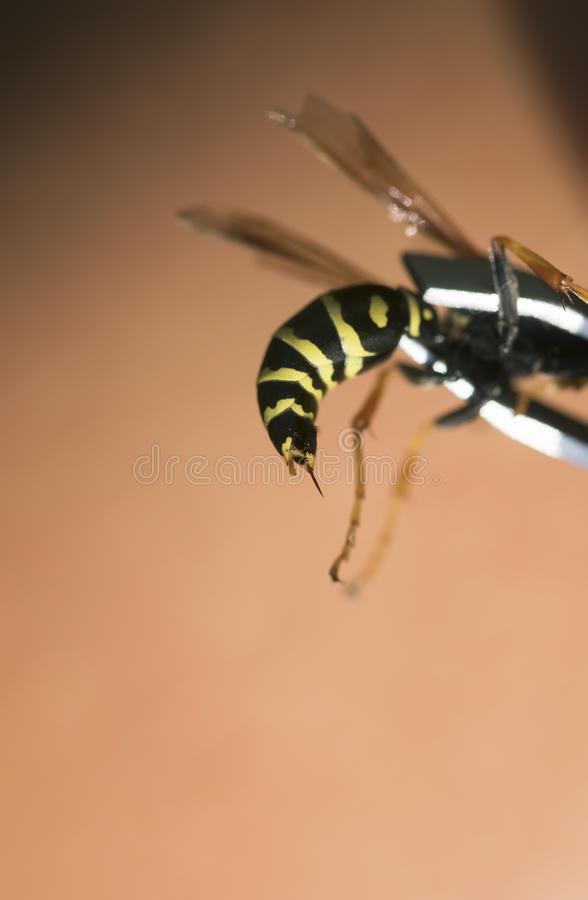 Dangerous insect, a wasp is removed with sharp poisonous sting t royalty free stock image