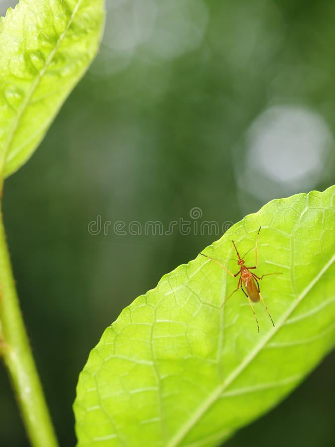 Dangerous MALARIA infection parasite, small yellow brown tropical mosquito insect stock photography