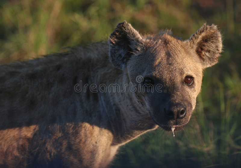 Download Dangerous Nocturnal Predator Stock Image - Image: 5232919