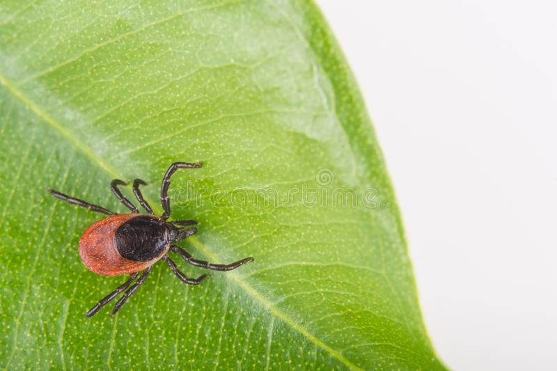 Close-up of castor bean tick on a green leaf. Ixodes ricinus stock photography
