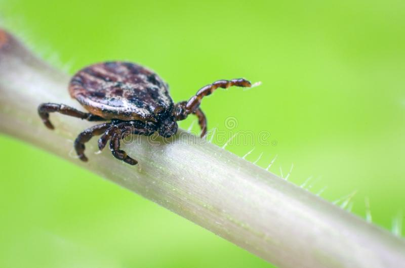 A dangerous parasite and a carrier of mite infection on a branch.  stock photo