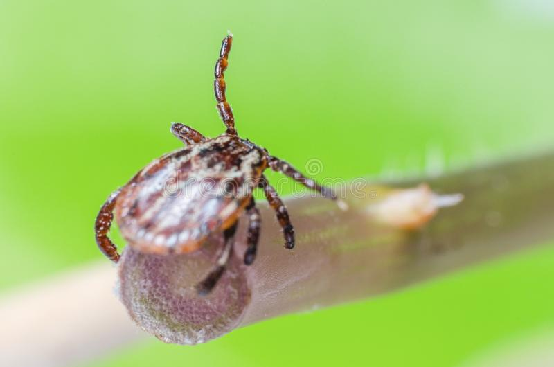 A dangerous parasite and a carrier of mite infection on a branch.  royalty free stock photo