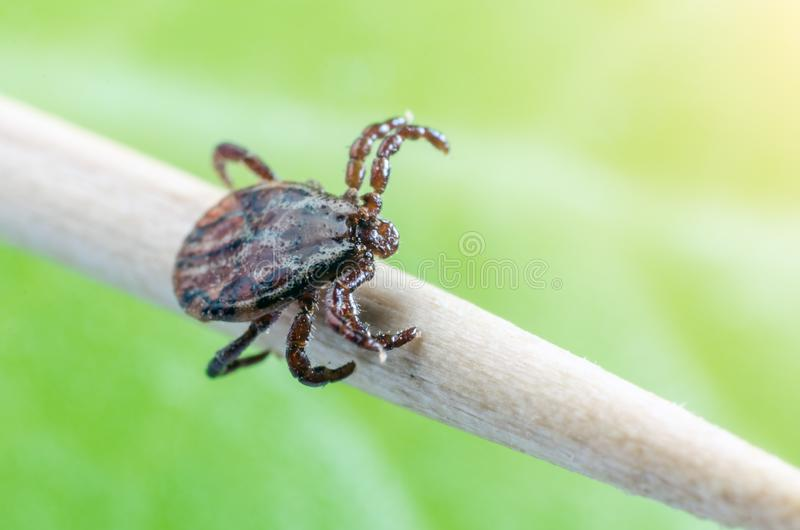 A dangerous parasite and a carrier of mite infection on a branch stock photography