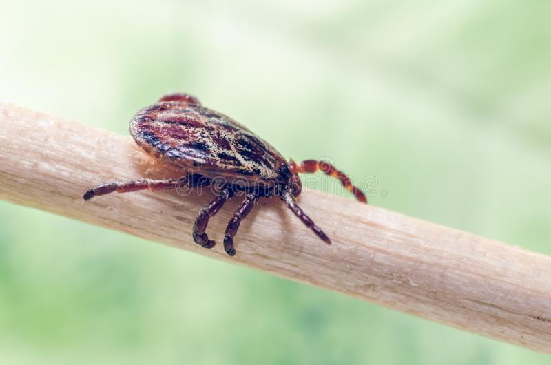 A dangerous parasite and a carrier of mite infection on a branch.  royalty free stock photography