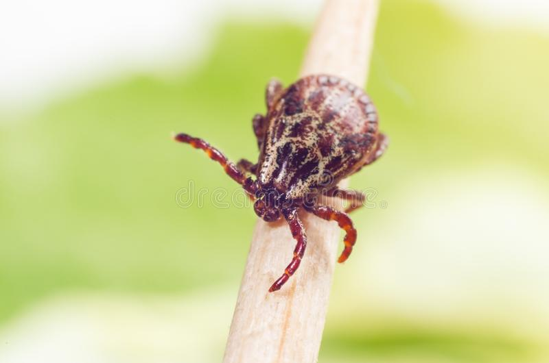 A dangerous parasite and a carrier of mite infection on a branch.  stock images
