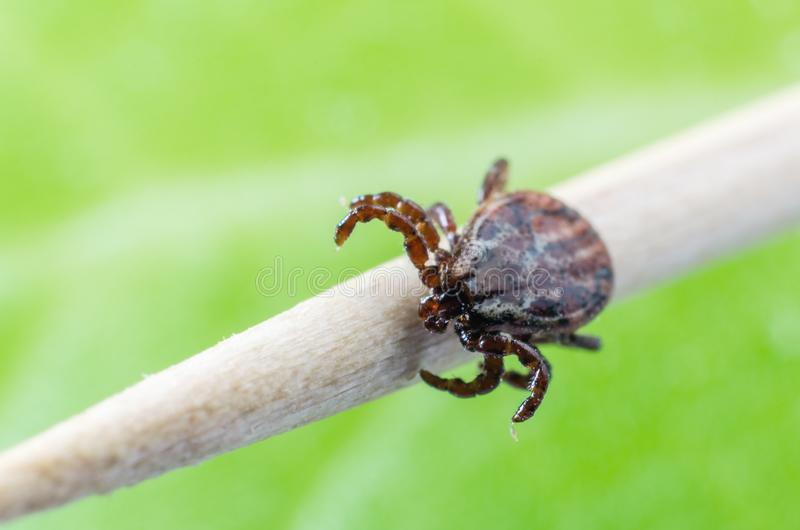 A dangerous parasite and a carrier of mite infection on a branch royalty free stock photos