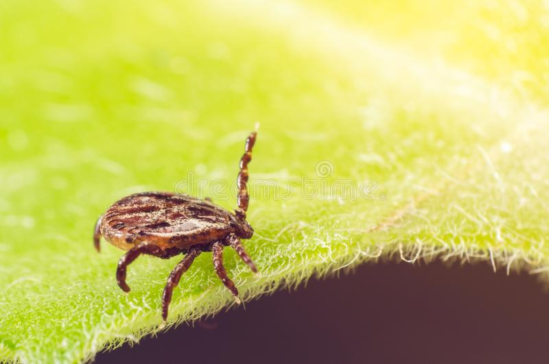 A dangerous parasite and infection carrier mite sitting on a green leaf stock photos