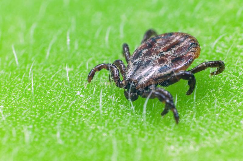 A dangerous parasite and infection carrier mite sitting on a green leaf.  royalty free stock images