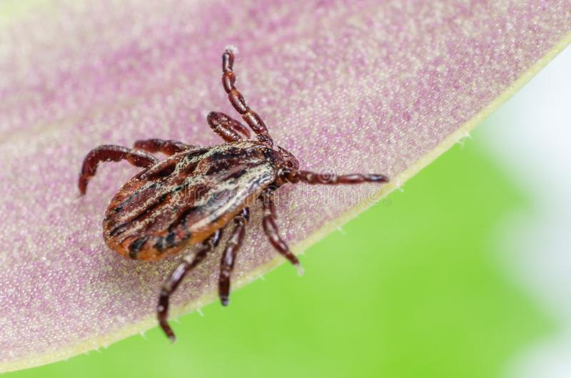 A dangerous parasite and infection carrier mite sitting on a leaf.  royalty free stock photo