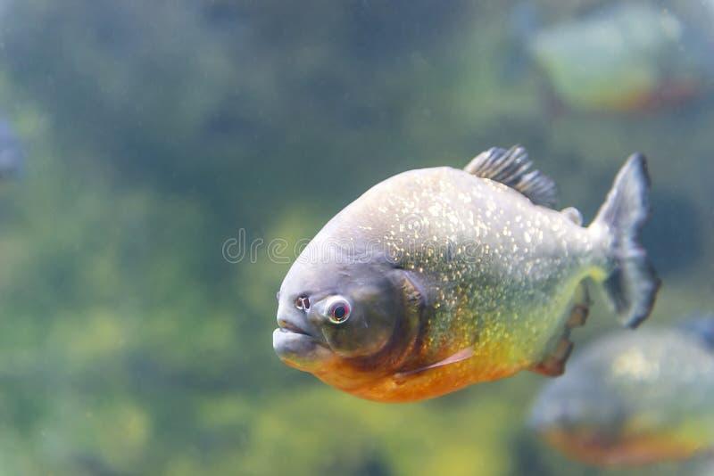 Dangerous piranha fish. In water closeup stock photography