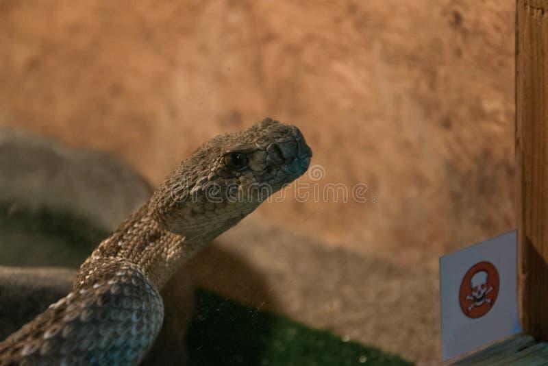Dangerous poisonous snake in the terrarium - western diamond rattlesnake. Space for text royalty free stock photo