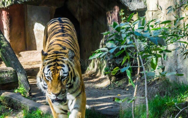 Dangerous predator tiger walking wildlife animal portrait. A dangerous predator tiger walking towards camera wildlife animal portrait royalty free stock photo