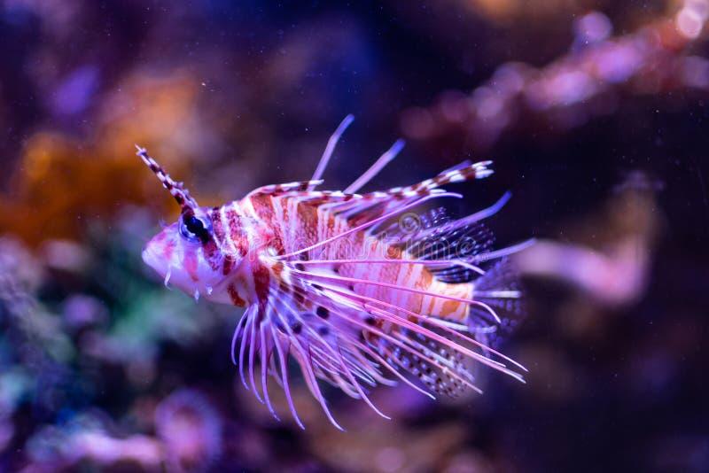 The dangerous scorpion fish in the tank of an aquarium royalty free stock image