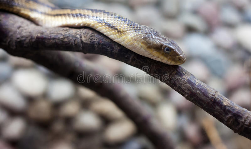 Download Dangerous snake stock photo. Image of nature, serpent - 25551404