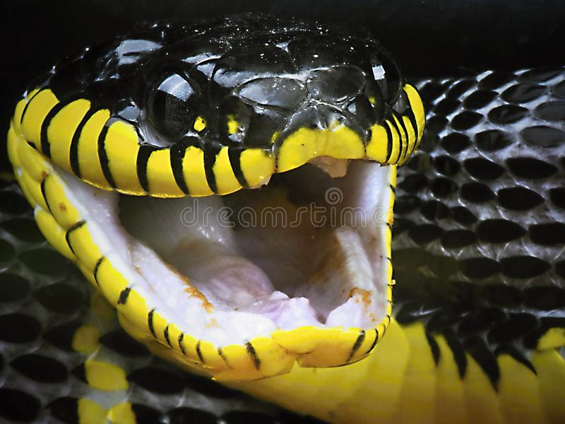 Dangerous Snakes. There are more than 3,000 species of snakes on the planet and they're found everywhere except in Antarctica, Iceland, Ireland, Greenland stock images