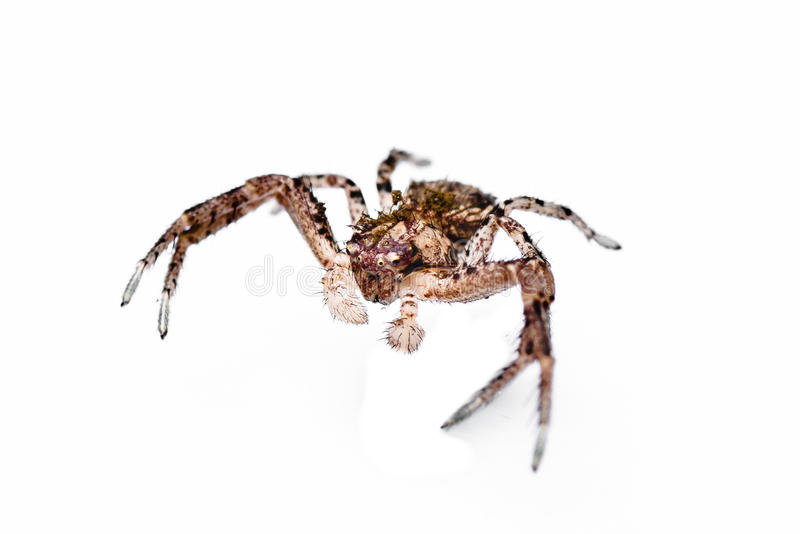 Download Dangerous spider. stock image. Image of nature, legs - 21686105