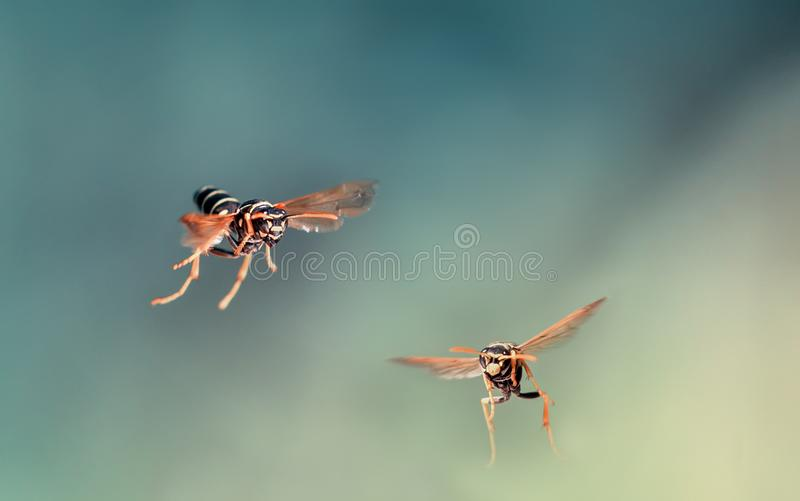 Dangerous striped insect wasps fly in the garden. Two dangerous striped insect wasps fly in the garden stock image