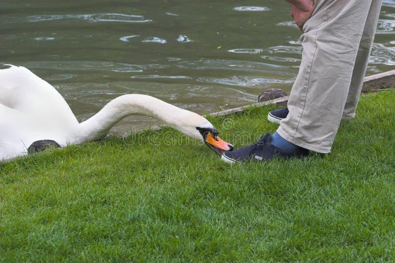 Download Dangerous swan stock image. Image of bird, swan, animal - 406313