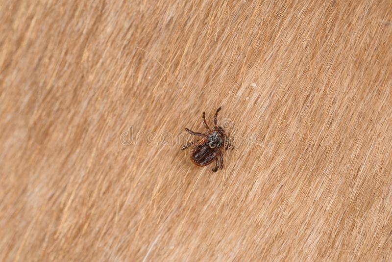 A dangerous tick on skin. Mite on a dog, A dangerous tick on skin royalty free stock images