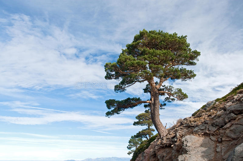 Dangerous tree located on a cliff. With a beautiful sea of clouds background royalty free stock photos