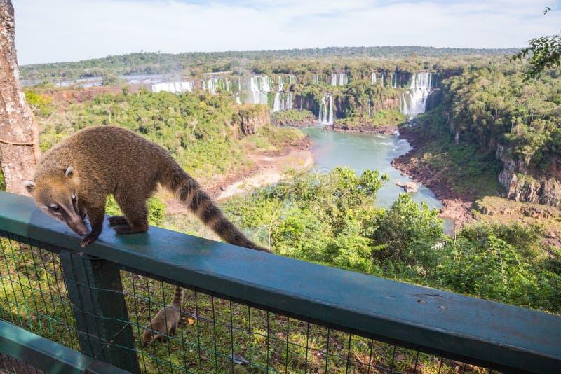 Wild coati nasua posing on Brazilian side of Iguazu falls national park. Argentinian side of Iguazu falls in the background. stock photos